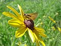 Delaware Skipper on Black-eyed Susan.jpg