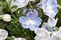 Delphinium grandiflorum Summer Blues 6zz.jpg