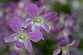 Dendrobium-NationalOrchidGarden-Singapore-20091018.jpg