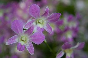 Dendrobium-NationalOrchidGarden-Singapore-20091018.jpg