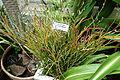 Dendrobium bullenianum - Conservatory of Flowers - San Francisco, CA - DSC03194.JPG