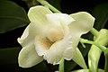 Dendrobium endertii (Kalimantan Indonesia) J.J.Sm., Bull. Jard. Bot. Buitenzorg, sér. 3, 11- 138 (1931) (35231770102).jpg