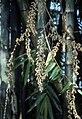 Dendrocalamus giganteus flowers.jpg