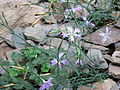 Dianthus pygmaeus.jpg