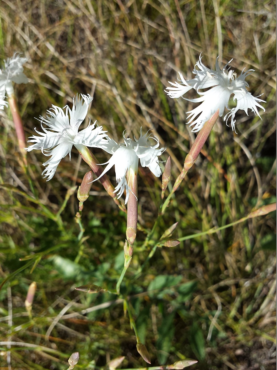Dianthus serotinus sl8