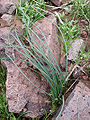 Dichelostemma capitatum leaves.jpg