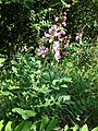 Dictamnus albus sl39.jpg