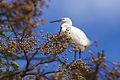Dimorphic Egret - Lac Alarobia - Madagascar S4E6781 (15284605461).jpg