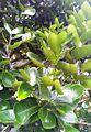 Diospyros egrettarum ebony planted by Nelson Mandela - Pamplemousses 3.jpg