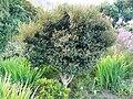 Diospyros whyteana - small tree.JPG