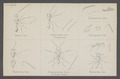 Dipara - Print - Iconographia Zoologica - Special Collections University of Amsterdam - UBAINV0274 046 11 0010.tif
