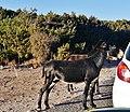 Dipkarpaz Karpaz Milli Parki Esel 03.jpg