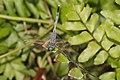Diplacodes trivialis male-Kadavoor-2016-03-22-001.jpg