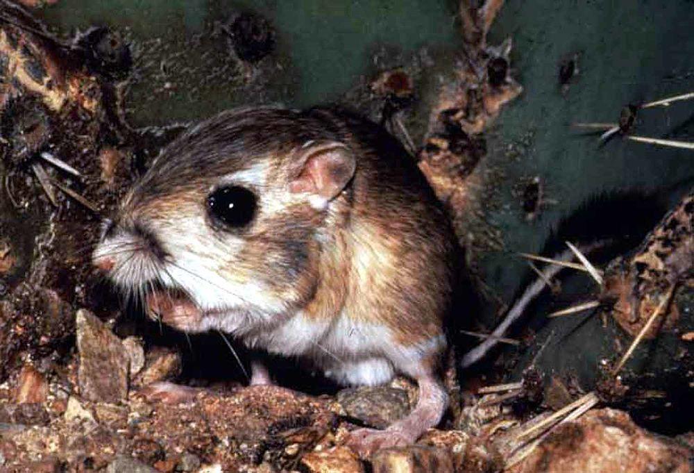 The average litter size of a Fresno kangaroo rat is 2