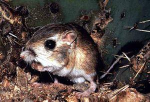 Heteromyidae - Fresno kangaroo rat (Dipodomys nitratoides)