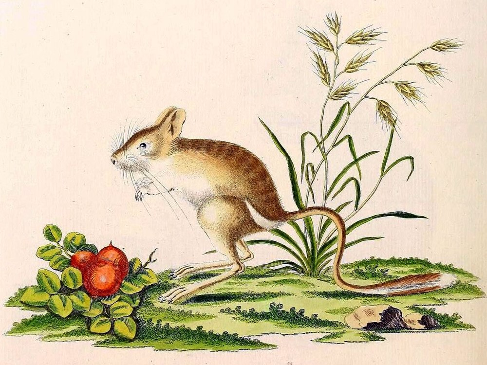 The average litter size of a Northern three-toed jerboa is 3