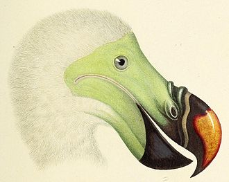 Paul Gervais - Head of a dodo, detail of illustration from Atlas de Zoologie, Paul Gervais, 1844