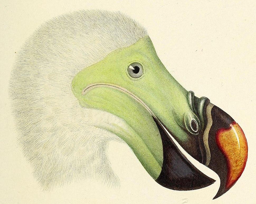 Dodo detail from Atlas de Zoologie