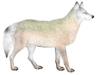 Great Plains wolf subspecies of mammal