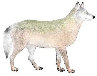 Great Plains wolf - Illustration based on a description by Edward Alphonso Goldman