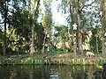 Dolls hung in Santana Barrera's chinampa in Xochimilco.jpg
