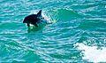 Dolphin in water, Boca Raton.jpg