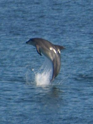 Kilcommon - Dolphin frolicking with its pod in Sruwaddacon estuary, Broadhaven Bay, Erris, County Mayo, Ireland. August 2010
