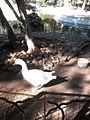 Domesticated goose in Rabat, Morocco 1.jpg