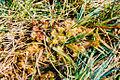 Drosera rotundifolia var. corsica, Corse-du-Sud, 1998.jpg