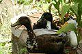 Duck - Batak.jpg