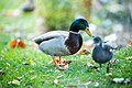 Duck Parc Des Plantes à Nantes (233632151).jpeg