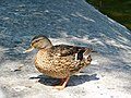 Duck on the coast.jpg