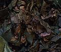 Dulse seaweed.jpg