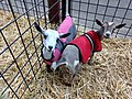 Dwarf Nigerian Goats in Coats.jpg