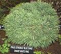 Dwarf white pine (4411068471).jpg