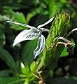 Ecbolium ligustrinum -日本京都植物園 Kyoto Botanical Garden, Japan- (26818954817).jpg