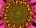 Echinacea angustifolia (14525613345).jpg