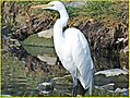 Egret Mom, Ford Park 2-2-14 (12325087513).jpg