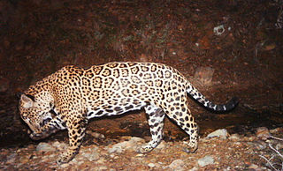 North American jaguar subspecies of big cat native to the Americas