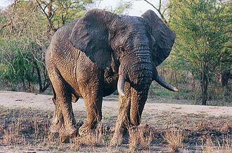 Wild elephant in the Kruger Park