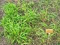 Elymus hystrix (Hystrix patula) - Berlin Botanical Garden - IMG 8558.JPG