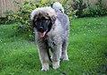 Emir, 4 month old puppy.jpg