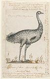 Emu, or `New genus of Bird at Botany bay 1788 A604005h