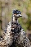 Emu (26075887432).jpg