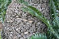 Encephalartos gratus 4zz.jpg
