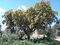 Encina - panoramio.jpg