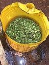 Hundreds of live stink bugs inside a bucket.