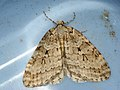 Epirrita autumnata - Autumnal moth - Ларенция осенняя (40900200452).jpg