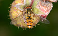 Episyrphus balteatus 8491.jpg