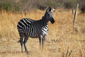 Equus quagga -Ruaha National Park, Iringa, Tanzania-8.jpg